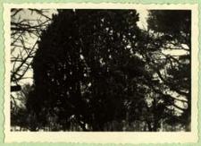 Ponad trzystuletni jałowiec w zespole parkowo-pałacowym w Neplach [dokument ikonograficzny]